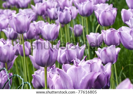 flowerbed with violet spring tulips
