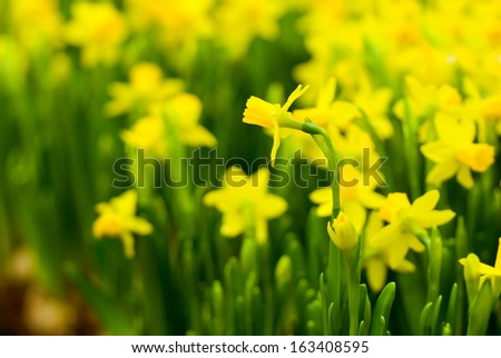 Flowerbed with yellow small daffodils in spring.  - stock photo