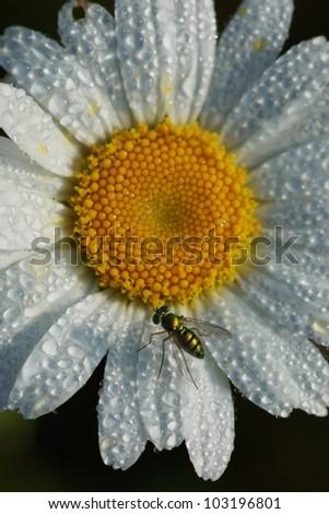 Flowerfly on Dewey Daisy - stock photo