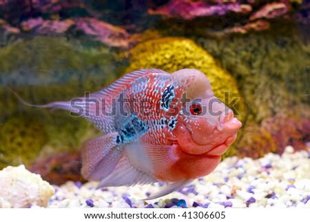 Flowerhorn Cichlid fish in the aquarium - stock photo
