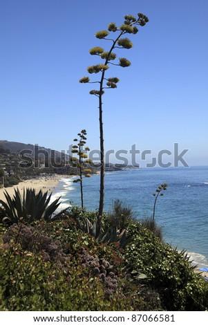 Flowering agave in Laguna Beach, California. - stock photo