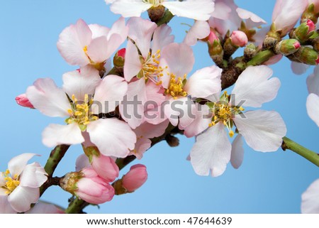 Flowering almond branch against the sky - stock photo