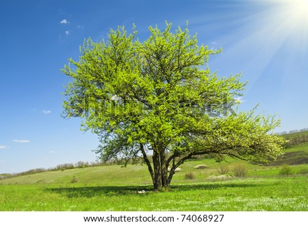 flowering apple-tree - stock photo