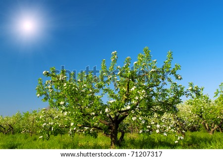 flowering apple-tree garden - stock photo
