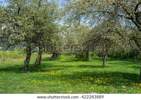 Flowering apple trees in old orchard