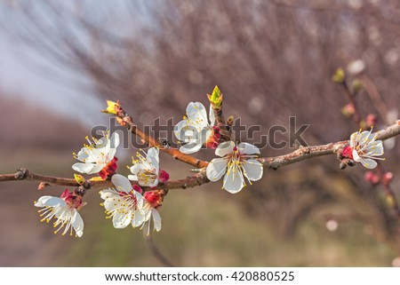 Flowering apricot tree branch closeup in evening sun on a blurred background of spring orchard. Photo toned - stock photo