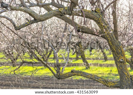 Flowering apricot tree close up in spring orchard in evening sunshine - stock photo