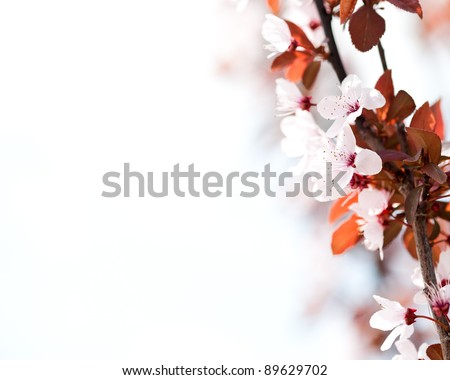 Flowering apricot tree. Spring background - stock photo