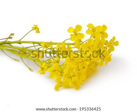 Flowering Barbarea vulgaris or Yellow Rocket plant (Cruciferae , Brassicaceae ) close up isolated  - stock photo