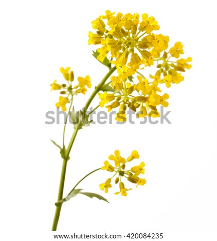 Flowering Barbarea vulgaris or Yellow Rocket plant (Cruciferae , Brassicaceae ) close up isolated on white - stock photo