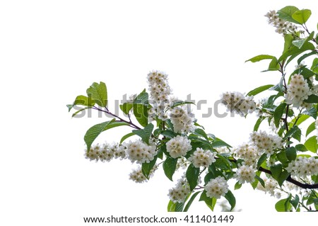 Flowering bird cherry on a white background after the rain. - stock photo