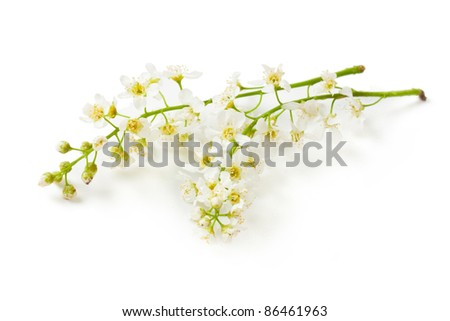 flowering bird cherry tree branch