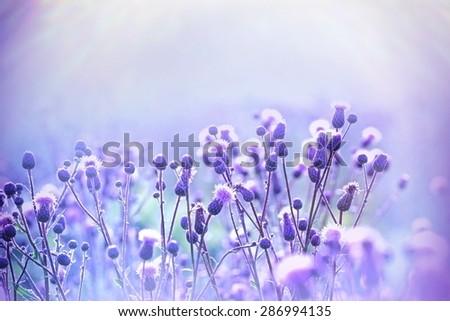 Flowering (blooming) thistle - burdock lit by sunlight - stock photo