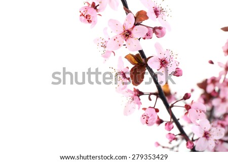 Flowering branch isolated on white - stock photo