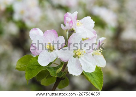 Flowering branch of apple - stock photo