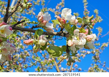 Flowering branch of apple.  The quality of medium format - stock photo