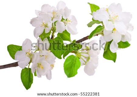 Flowering branch of apple-tree. Closeup on white. - stock photo