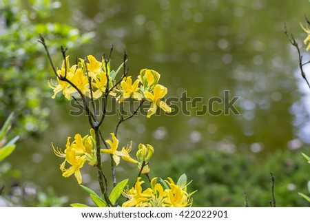 Flowering branch of forsythia close up - stock photo
