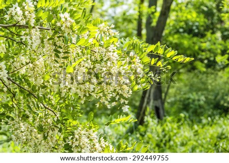 Flowering branch of locust close up in green grove on a sunny spring day - stock photo