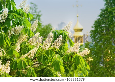 Flowering branches of chestnut (Aesculus hippocastanum) on the background of green leaves and sky - stock photo
