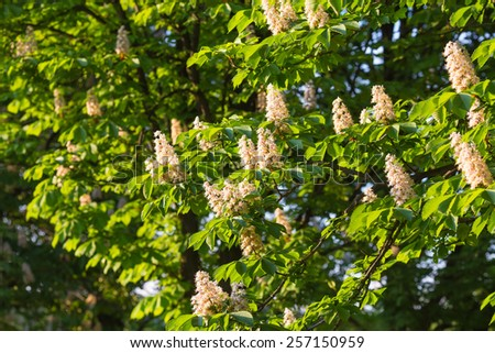 Flowering branches of chestnut Castanea sativa tree - stock photo