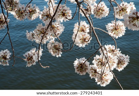 Flowering branches of Japanese cherry tree handing over water of Tidal Basin in Washington, D.C. - stock photo