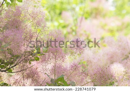 Yellow Smoke Tree Flowering Bush Smoke Tree