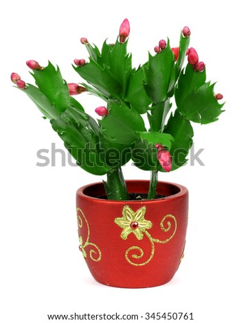 flowering cactus on a white background