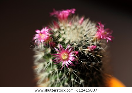 Flowering cactus small pink flowers on stock photo edit now flowering cactus small pink flowers on a background of green succulent spring awakening of mightylinksfo
