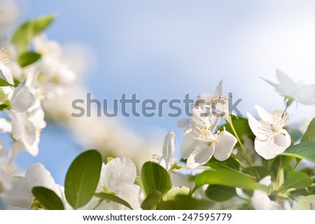 Flowering Cerasus cherry tree vibrant green leaves and white blossoms in sunlight, early spring season, bright nature detail, horizontal orientation, nobody. - stock photo