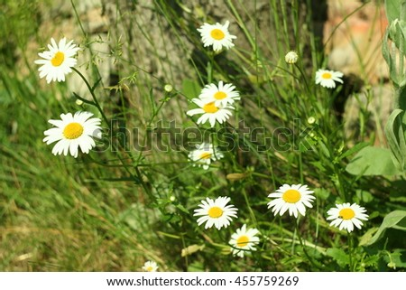 Flowering. Chamomile. Blooming chamomile near the tree stump. Chamomile flowers on a meadow in summer,Blurred background - stock photo