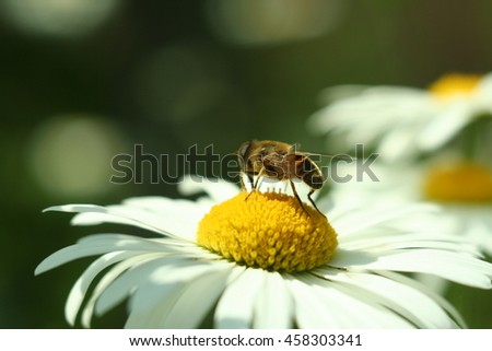Flowering. Chamomile. Chamomile flower with drone on a meadow in summer,Blurred background - stock photo