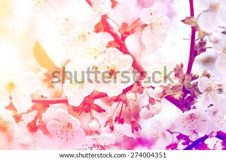 flowering cherry sakura vintage photo retro style - stock photo