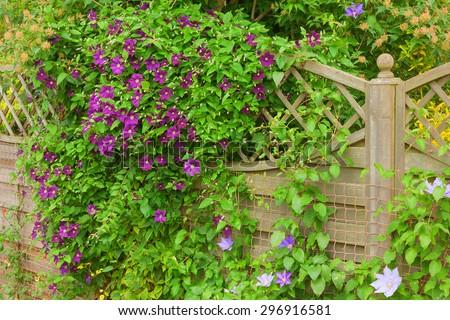 Flowering clematis climbing over a garden fence. - stock photo