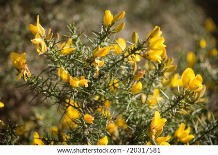 Flowering common gorse ulex europaeus spiky stock photo royalty flowering common gorse ulex europaeus a spiky thorn covered plant with bright yellow mightylinksfo