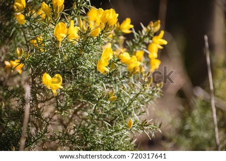Flowering common gorse ulex europaeus spiky stock photo download flowering common gorse ulex europaeus a spiky thorn covered plant with bright yellow mightylinksfo