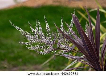 "flowering Cordyline australis ""Red Star"" with white flowers and very dark reddish bronze sword-like leaves - stock photo"