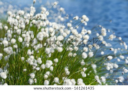 Flowering Cotton Grass on a Background of Water - stock photo