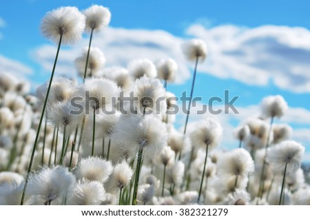 Flowering cotton grass on  background of blue sky - stock photo