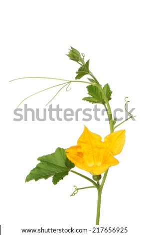 Flowering courgette plant isolated against white - stock photo