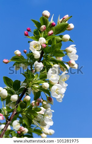 Flowering Crab Apple branch against a deep blue spring sky - stock photo
