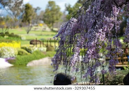 Flowering Crab Apple tree. Japanese Gardens in Cowra - stock photo