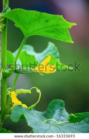Flowering cucumber, Karaganda, july 2008