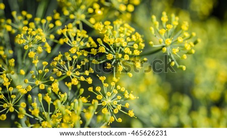 flowering dill clous up. Background