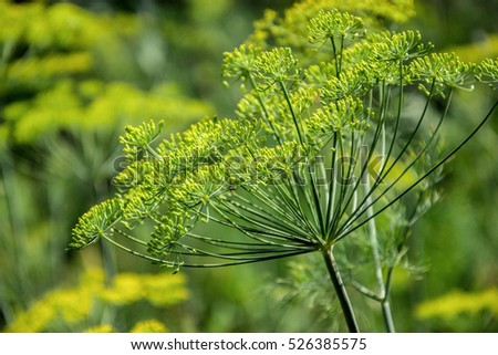 Dill Plant Stock Images RoyaltyFree Images Vectors Shutterstock