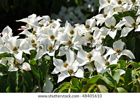 Flowering dogwood - stock photo
