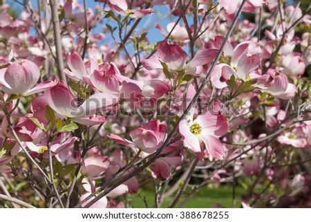 Flowering dogwood, Cornaceae  - stock photo