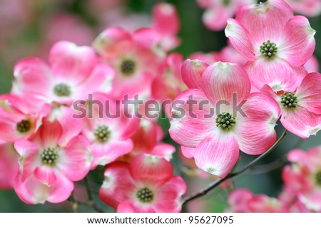 Flowering Dogwood, Pink Flowers Closeup - stock photo
