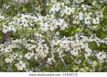 Flowering Dogwood tree - stock photo