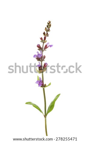 Flowering garden Sage, Salvia officinalis, isolated against white - stock photo